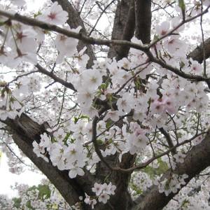 健軍自衛隊の桜